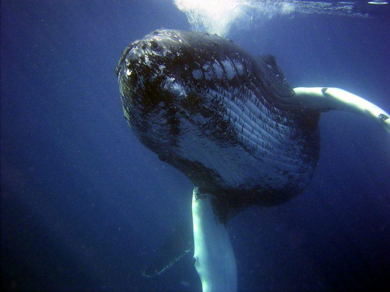 Velryby opět přesouvají Bitcoin a XRP