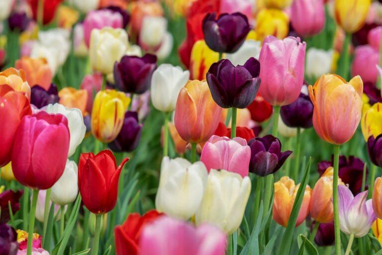 Historické bubliny 1: Tulipánová horečka