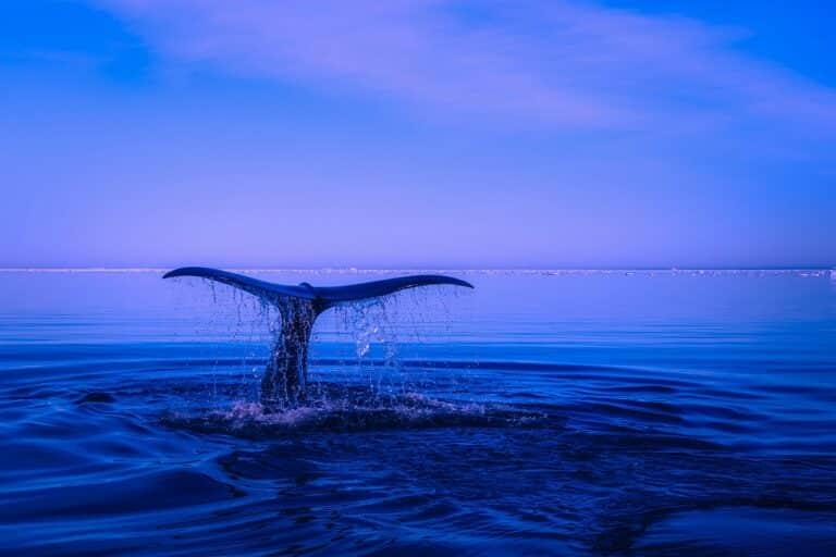 Populace bitcoinových velryb roste, ale nebohatne